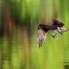 August 8 2019 - Osprey with Fish