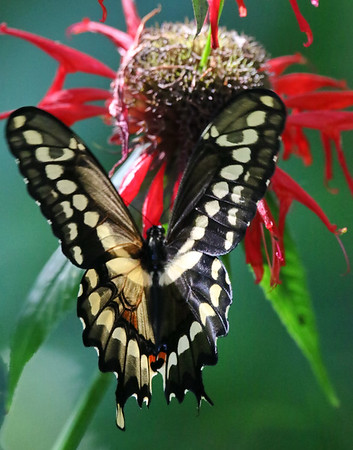 August 15 2019 - Swallowtail Butterfly