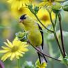 August 18 2019 - Goldfinch