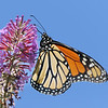 August 29 2019 - Monarch Butterfly