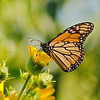 August 10 2019 - Monarch Butterfly