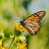 August 10 2019 - Monarch Butterfly
