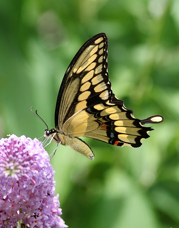 August 27 2019 - Swallowtail Butterfly
