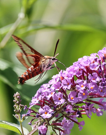 August 23 2019 - Hummingbird Moth