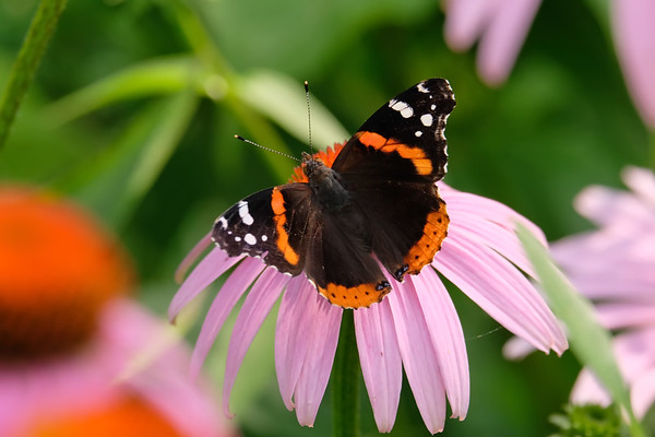 August 3 2019 - Red Admiral Butterfly