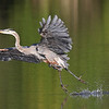 August 16 2019 - Great Blue Heron