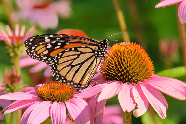 August 5 2019 - Monarch Butterfly