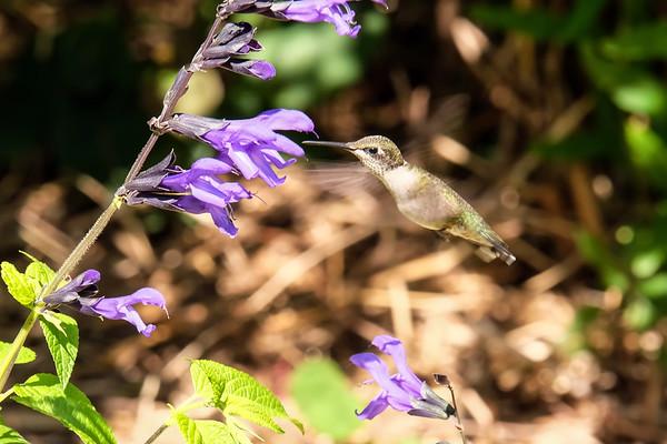 August 17 2019 - Hummingbird