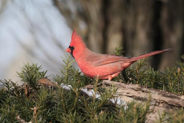December 23 2019 - Northern Cardinal