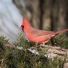 December 23 2019 - Northern Cardinal
