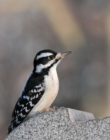 December 14 2019 - Hairy Woodpecker