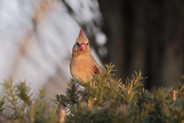 December 25 2019 - Female Cardinal