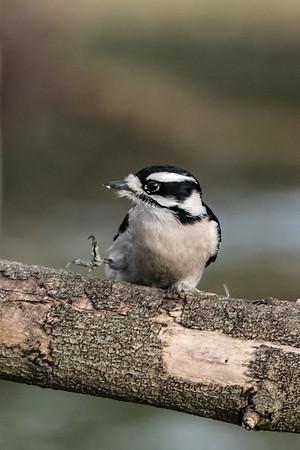 December 10 2019 - Downy Woodpecker