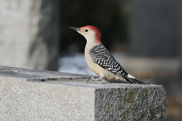 December 24 2019 - Red Bellied Woodpecker