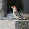 December 24 2019 - Red Bellied Woodpecker