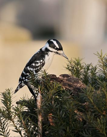 December 30 2019 - Hairy Woodpecker