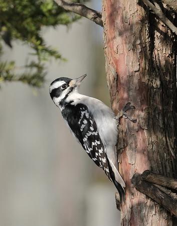 December 19 2019 - Hairy Woodpecker