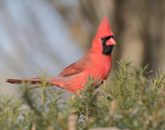 December 29 2019 - Northern Cardinal