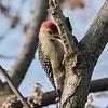 December 2 2019 - Red Bellied Woodpecker