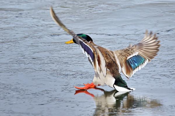February 14 2019 - Sliding Duck
