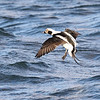 February 23 2019 - Long Tailed Duck