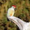 February 10 2019 - Red Bellied Woodpecker