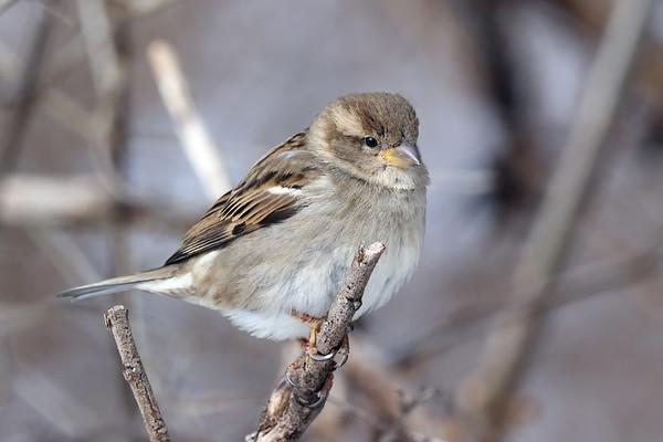 February 16 2019 - Sparrow