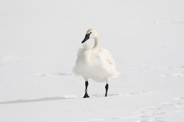 February 3 2019 - Trumpeter Swan