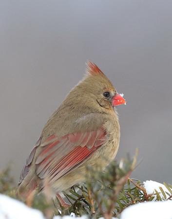 February 21 2019 - Female Cardinal