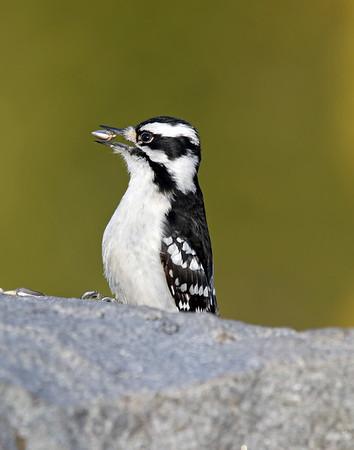 February 17 2019 - Downy Woodpecker