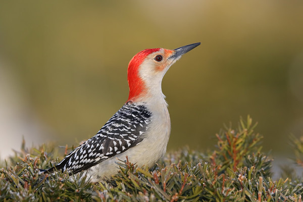 February 25 2019 - Red Bellied Woodpecker