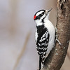 February 9 2019 - Downy Woodpecker