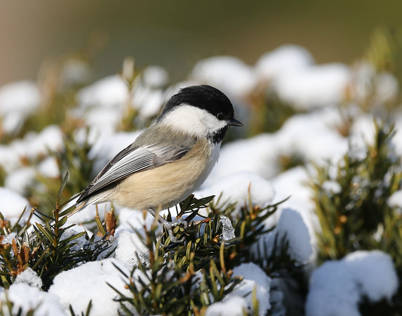 February 6 2019 - Chickadee