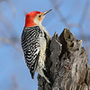 February 4 2019 - Red Bellied Woodpecker