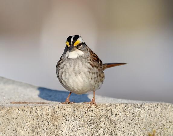 February 24 2019 - White Throated Sparrow