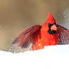 February 8 2019 - Northern Cardinal