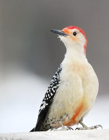 February 20 2019 - Red Bellied Woodpecker