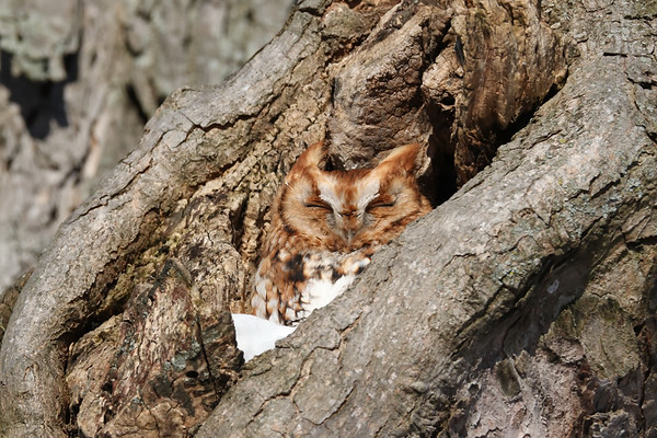 February 11 2019 - Screech Owl