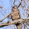 February 7 2019 - Bald Eagle