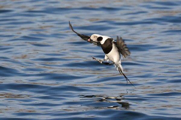 February 12 2019 - Long Tailed Duck