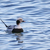 January 5 2019 - Long Tailed Duck