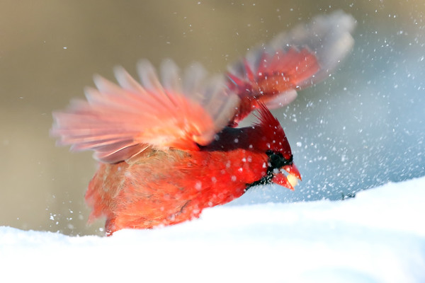 January 22 2019 - Northern Cardinal