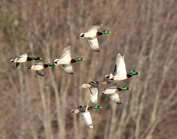 January 8 2019 - Flock of Ducks