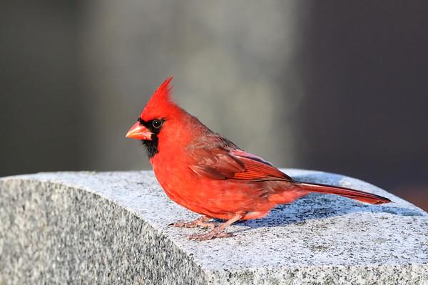 January 3 2019 - Male Northern Cardinal