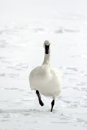 January 29 2019 - Trumpeter Swan