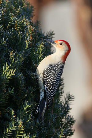 January 4 2019 - Red Bellied Woodpecker