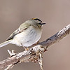 January 27 2019 - Golden-Crowned Kinglet