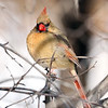 January 30 2019 - Northern Cardinal
