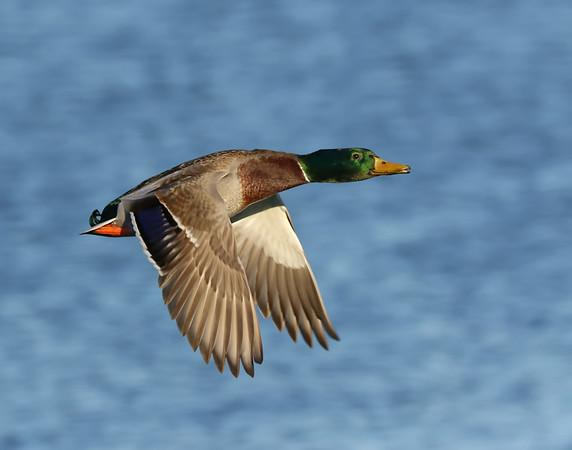 January 7 2019 - Mallard Duck