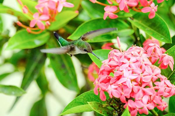 January 1 2019 - Vervain Hummingbird